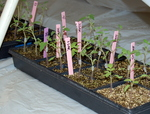 Grafted Tomatoes in Healing Tent by John Cummins