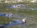 Pigeon Snorkel Survey by Joyce Coombs