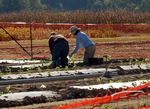 Planting Strawberries at Plant Sciences Farm by John Cummins