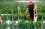 Spray Tomatoe Test Grainger by John Cummins