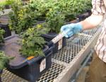 Tomato Nutrient Application in Hydroponics by John Cummins