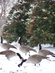 Canada Geese Wild in the Wild