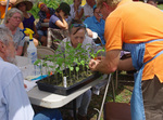 Tomato Grafting Demonstration
