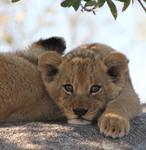 Lion Cub South Africa 2012