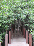 Mangrove Restoration in Thailand by Mary Albrecht