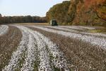 Picking Cotton by Blake Brown