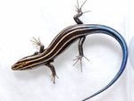 Skink with Ticks