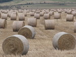 Close-Up of Big Round Bales of Switchgrass