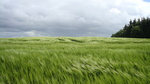 Wheat Fields in Denmark 2