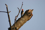 Woodpecker by Amy Dismukes