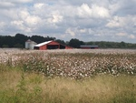 Painting-Like Barn and Cotton Field--Fayette County