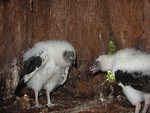 Baby Vultures