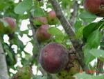 Backyard Apples