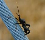 Leaf Footed Beetle