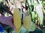 Bt vs. non-Bt corn