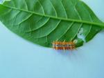 Big Orange Stinging Worm