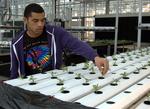 Julian Plants Marigolds