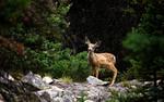 Mule Deer Fawn, Montana