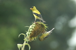 Goldfinches on Sunflower