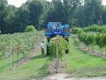 Grape harvesting in HRH Winery