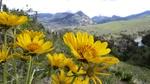 Sunflowers in Yellowstone