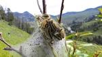 Yellowstone Caterpillars