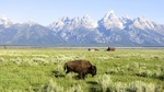 American Bison below the Tetons