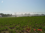 Irrigating Cotton with Center Pivot