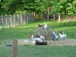 Kingdom of Goats