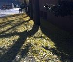 Gingko Trees in the Fall
