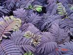 Purple Leaf Mimosa