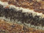 Geosmithia morbida in a walnut twig beetle tunnel