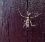 Star Butt Bug