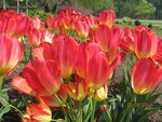 And the Tulips Spring…They Never Disappoint!