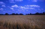 Amber Waves of Grain-Wheat
