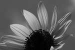 Sunflower by Kathy Evans