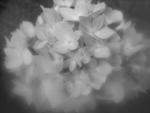 Hydrangea by Mary Pautler